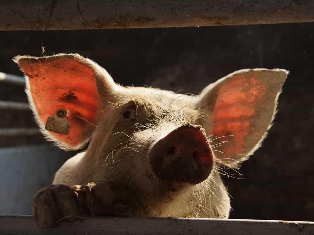 out-Schwein